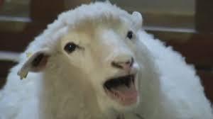 Sheep 06