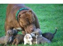 Pit Bull Mom and Puppies 150