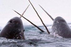 narwhals 150