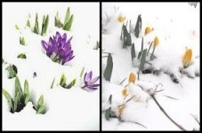 Crocusses and Daffodils Pushing through Snow 150